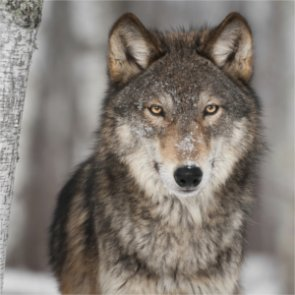 Native Americans call for ban on Wyoming wolf hunting
