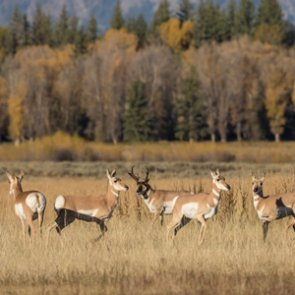 Antelope reintroduction effort in Washington successful