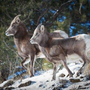 Washington bighorn sheep are healthy