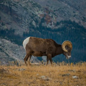 Washington's Colville Reservation restores historic bighorn and pronghorn