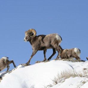 Washington works to curb disease in bighorn sheep