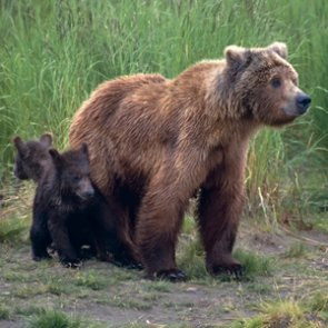 Will Washington's grizzly bear reintroduction go forward?
