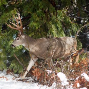 Mule deer study underway in Washington State