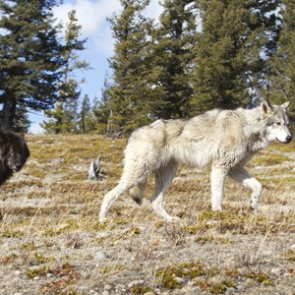 US Forest Service researcher treed by wolves