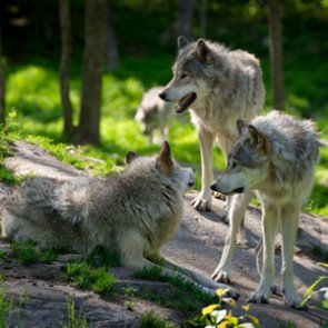 Washington considers expanding wolf recovery area