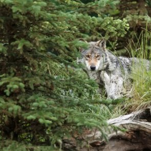 Year-round wolf season approved for Washington tribes
