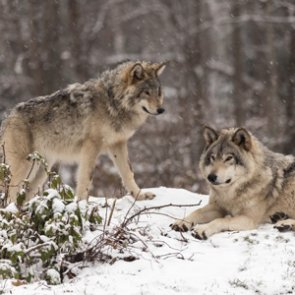 $20,000 reward offered in Washington wolf poacher case