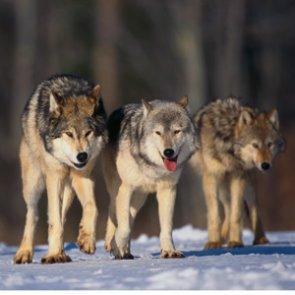 Washington wolf population growth slows