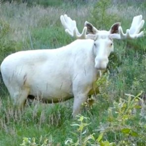Swedish police order death of rare white moose