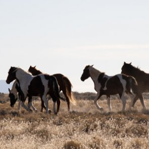 BLM completes wild horse round-up in Nevada