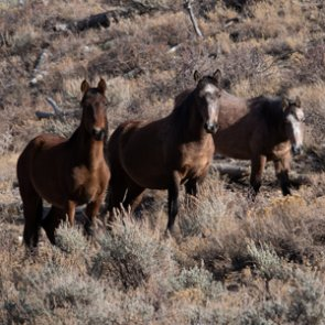SJR3 — Urges reduction of feral horses and burros in the Great Basin