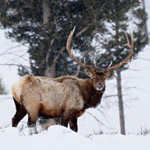Teton elk-herding hunters cited