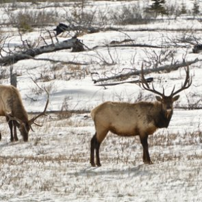 Elk hunt restrictions lifted in Wisconsin