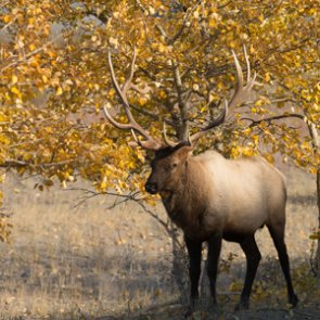 First-ever elk hunt in Wisconsin received a high number of applications