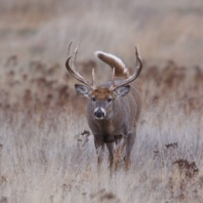 Wisconsin study looks at long-term impact of CWD on deer population