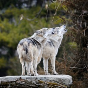 Wisconsin plans for second wolf season