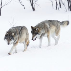 Wolf hunting comes to Wisconsin