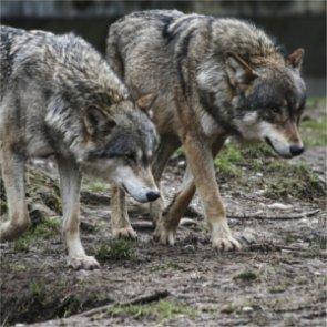 Wolf attacks Canadian mine worker