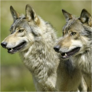 Sanctuary loses appeal to save Washington wolf pack