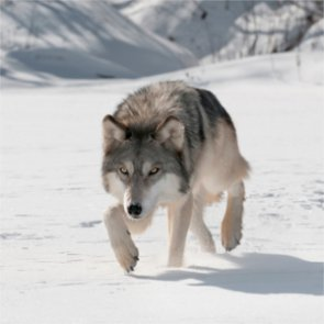 Michigan wolves stay protected