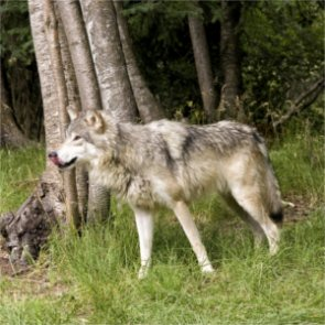 California finalizes gray wolf management plan