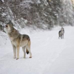 """Michigan to move forward with labeling wolves as """"game species"""""""