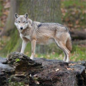 Washington launches multi-year wolf study