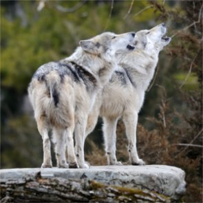 States push to delist Great Lakes wolves