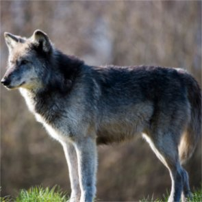 Nevada confirms first wolf since 1922