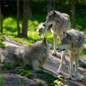 Wyoming goes to court to regain control of state wolves