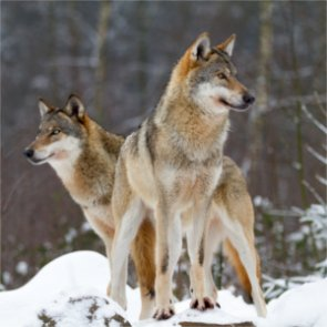 Ontario bans coyote and wolf hunting in 40 townships