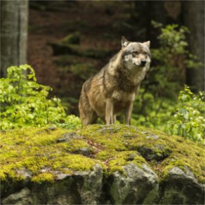 Poll finds majority of Oregon did not support delisting of wolves