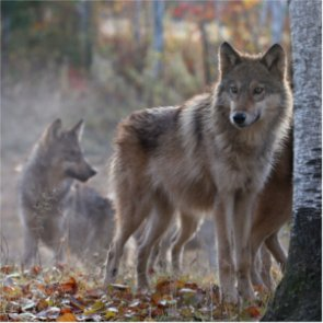 Wyoming wolves have a taste for beef