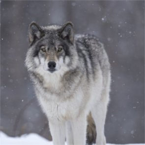 "Mexican wolf recovery relies on ""frozen zoo"""