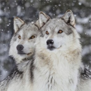 Is there a new wolf couple next door?