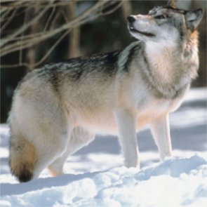 Wisconsin wants wolves delisted