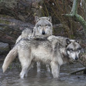 More wolf opportunity in Wyoming?