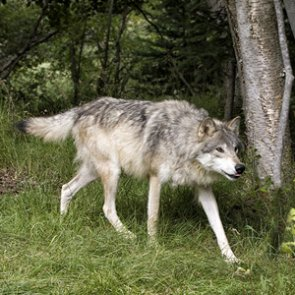 Montana keeping wolves under control