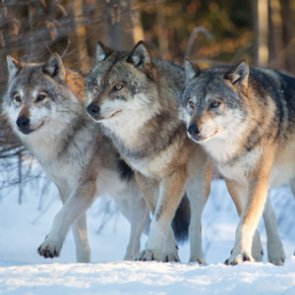 Montana to switch wolf counting tactics
