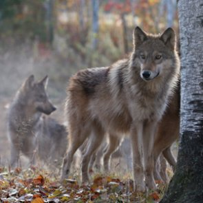 Gray wolf protections to end in 2020