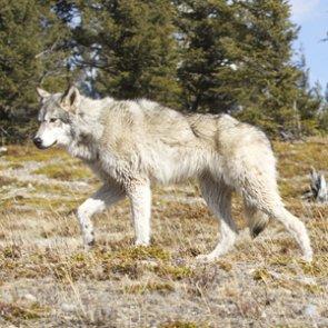 It's open wolf season in South Dakota