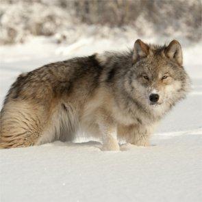 Better wolf management?