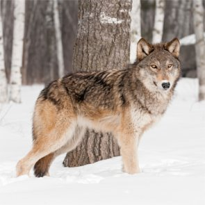 Anti-hunting groups sue over wolves in Montana and Idaho