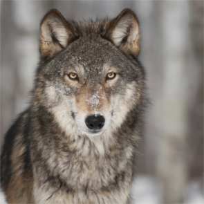 One wolf remaining in famous Denali pack