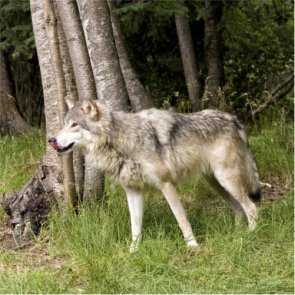 Wolf attack caught on video