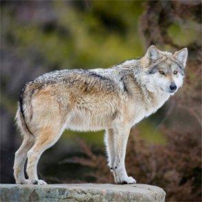 Wisconsin wolf numbers soar