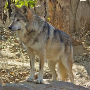 Did FWS falsify information about New Mexico wolves?