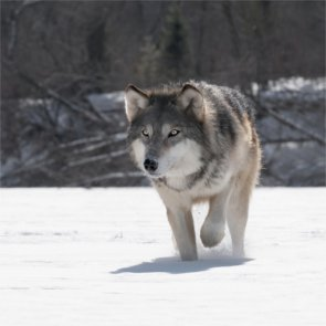 Wolf numbers remain strong in Montana