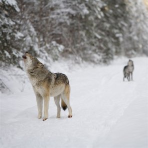 Ontario halts plan to allow wolf hunting