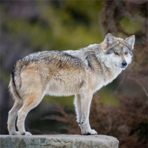 Wolf killing: Self defense or foul play?